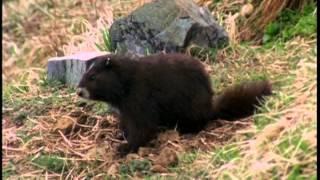 Documentaire La marmotte à Vancouver