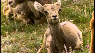 Documentaire Le mouflon d'Amérique dans les montagnes rocheuses