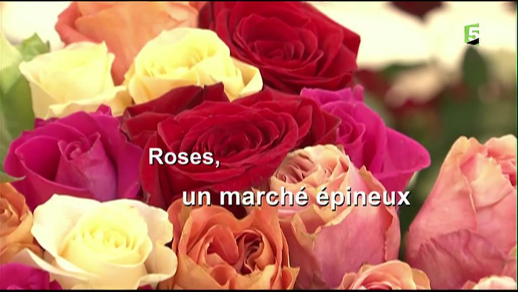 Documentaire Roses, un marché épineux