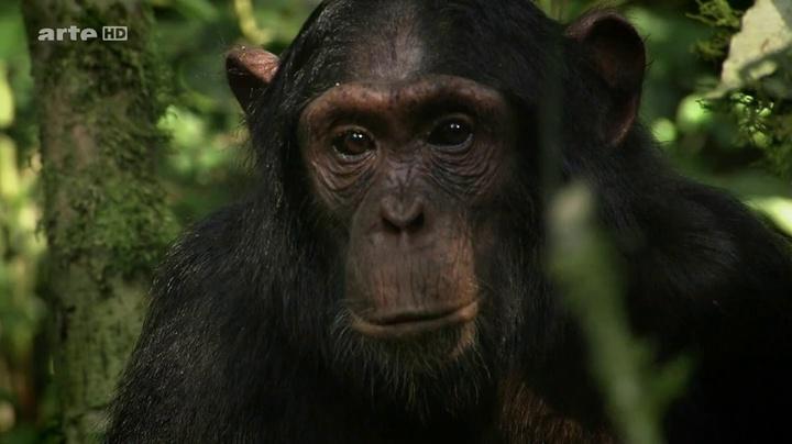 Documentaire Et le singe inventa la culture