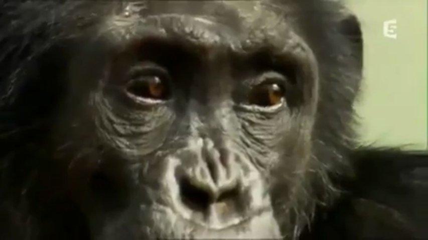 Documentaire Le chimpanzé, un homme comme les autres