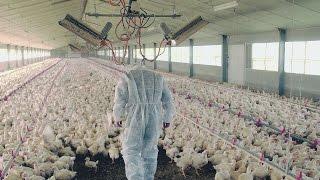 Documentaire Les secrets du poulet premier prix