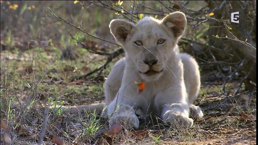 Documentaire Les lionnes blanches de Timbavati – Plus fortes que le destin (1/2)