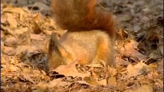 Documentaire Nain Rouge, une vie d'écureuil