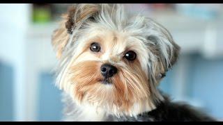 Documentaire Le Yorkshire, chien de compagnie