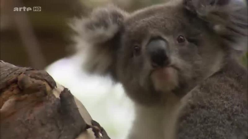 Documentaire L'hôpital des koalas