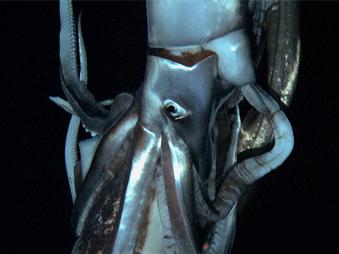 Documentaire Fantôme des grands fonds – Le calamar géant