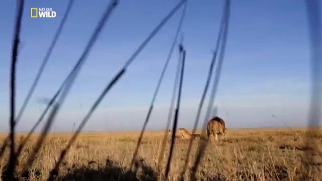 Documentaire Gang de lions