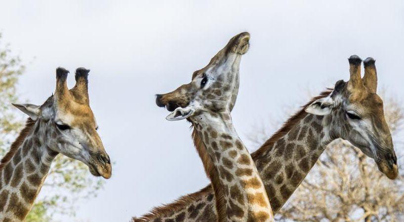 Documentaire Girafes, les dernières géantes