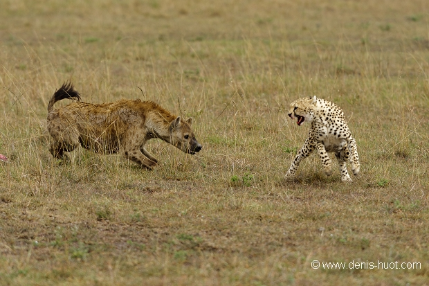 Documentaire Guépards & hyènes