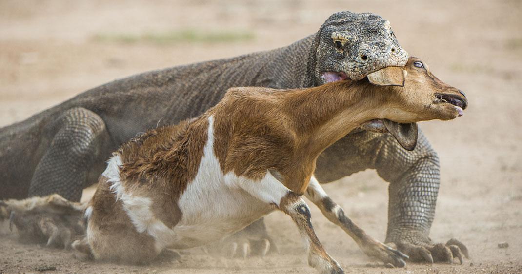 Documentaire Le Dragon de Komodo