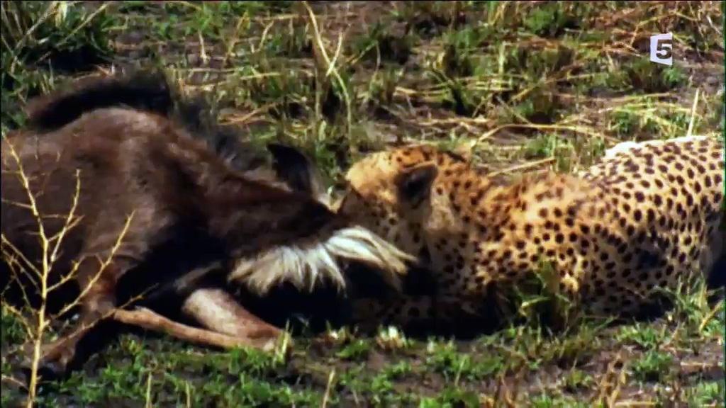 Documentaire Les prédateurs d'Afrique – Stratégies d'attaque