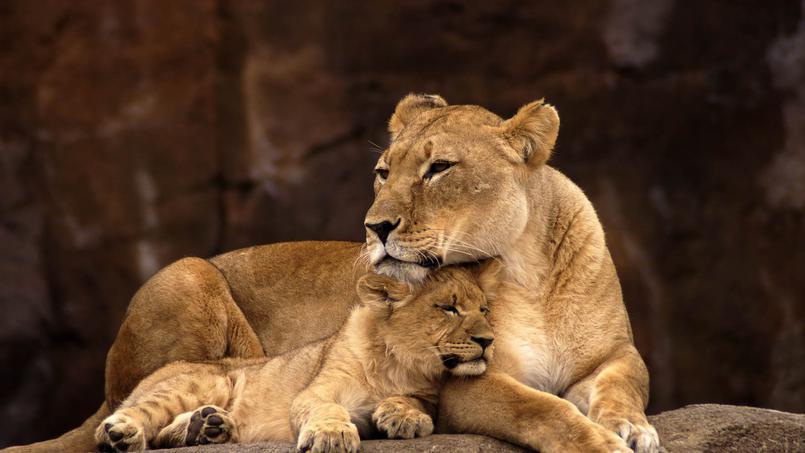 Documentaire Lions et hyènes, ennemis jurés
