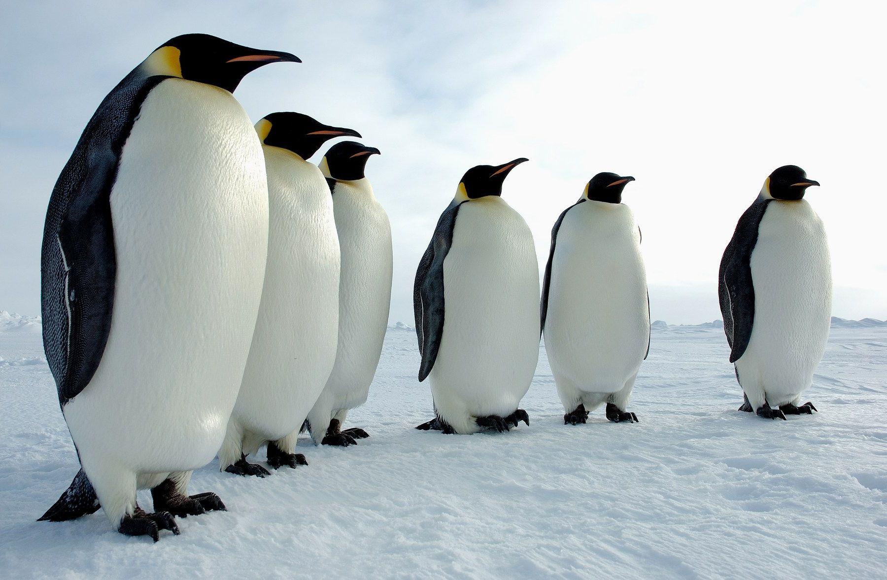 Documentaire Au cœur du paradis blanc, l'empereur des glaces