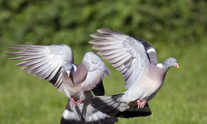 Documentaire Pigeons, citadins à plumes