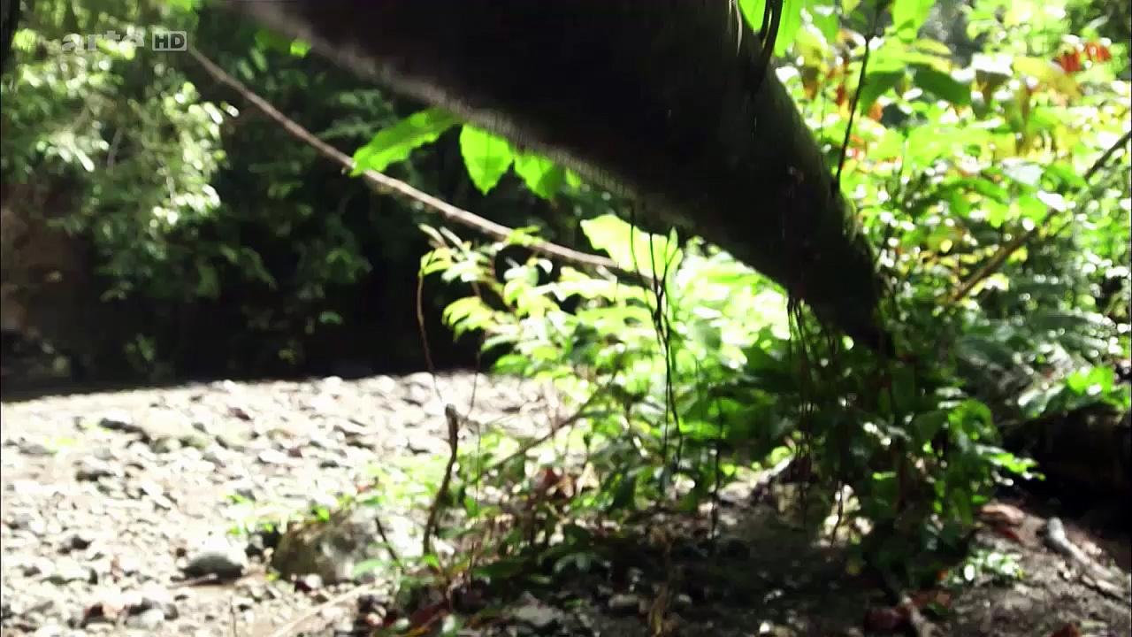 Documentaire Les paradisiers de la Nouvelle-Guinée (1/2)