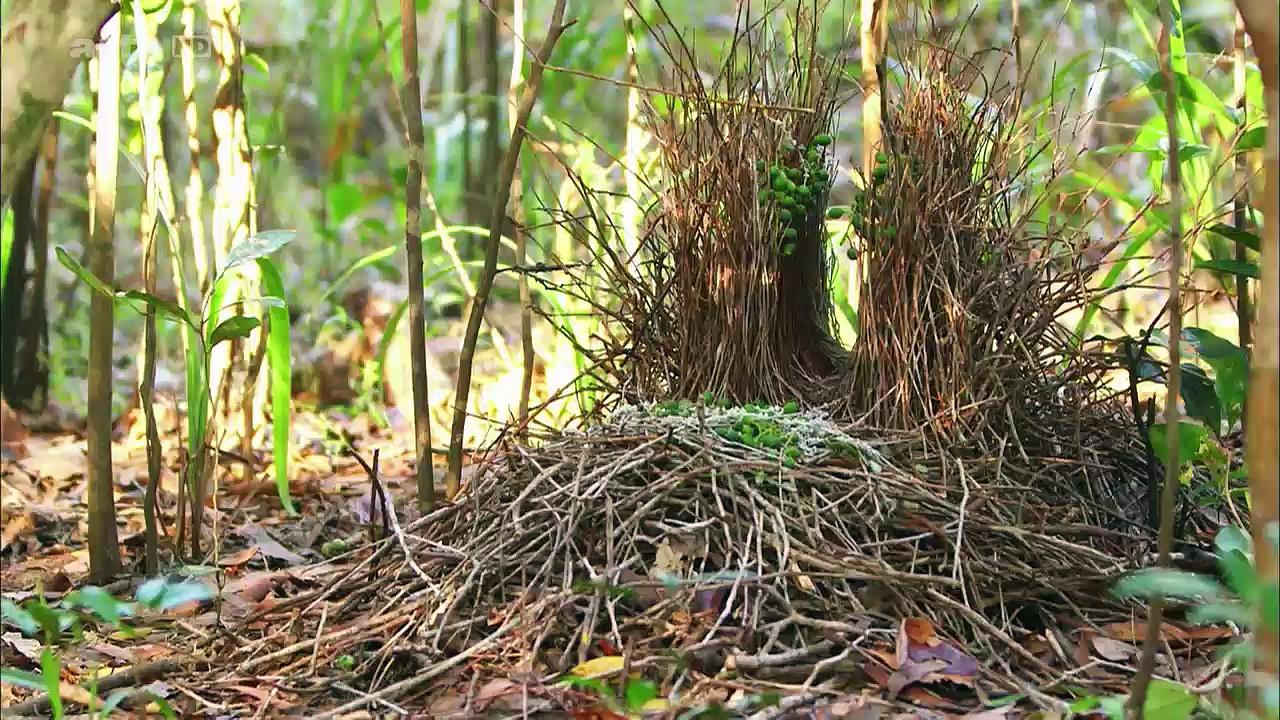 Documentaire Les paradisiers de la Nouvelle-Guinée (2/2)