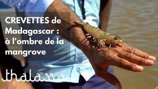 Documentaire Crevettes de Madagascar : à l'ombre de la mangrove