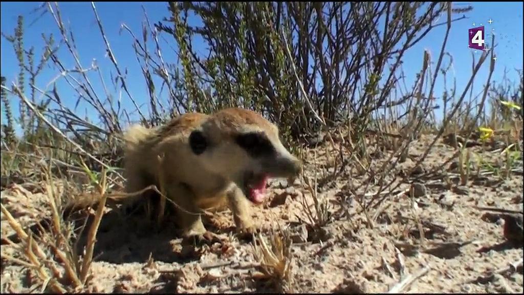 Documentaire Une saison chez les suricates