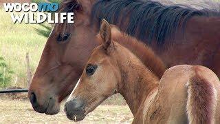 Documentaire Sur l'île la plus isolée du monde, le cheval est roi