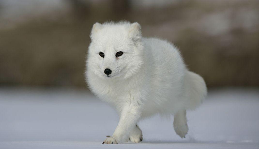 Documentaire Le renard polaire après l'Eden