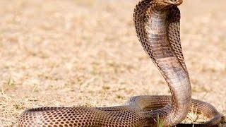 Documentaire Le cobra, seigneur du désert