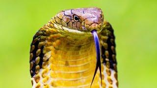 Documentaire Les reptiles du désert : varan, scorpion, serpent, cobra