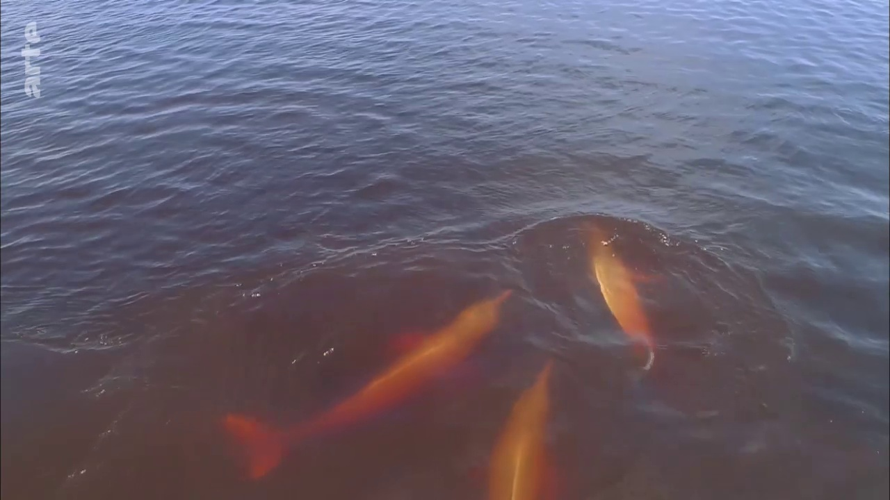 Documentaire Arapaïma, le poisson géant d'Amazonie