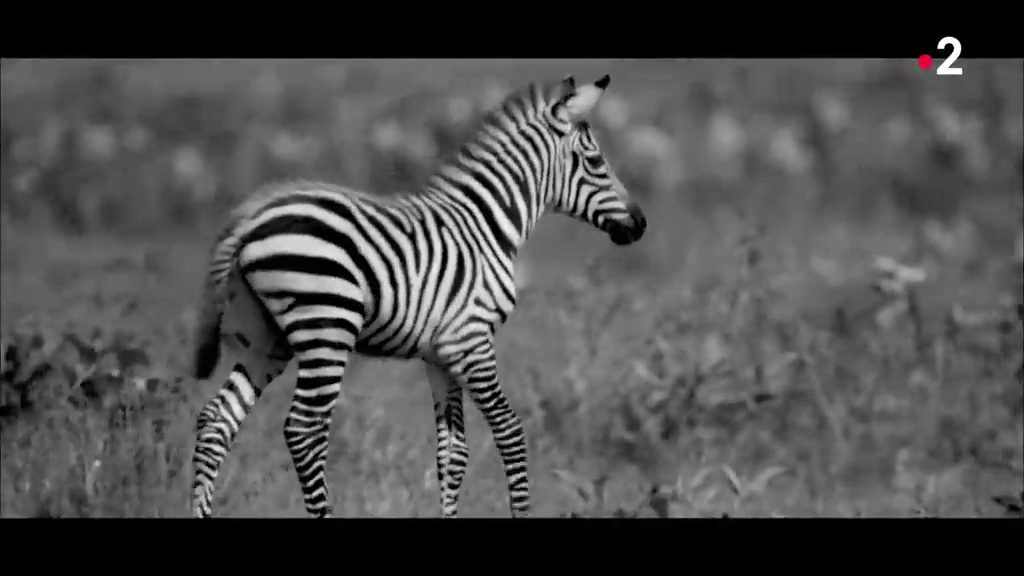 Documentaire Grandeurs nature – Punda, le zèbre