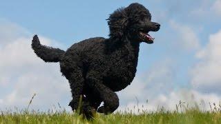 Documentaire Les chiens de compagnie : le caniche
