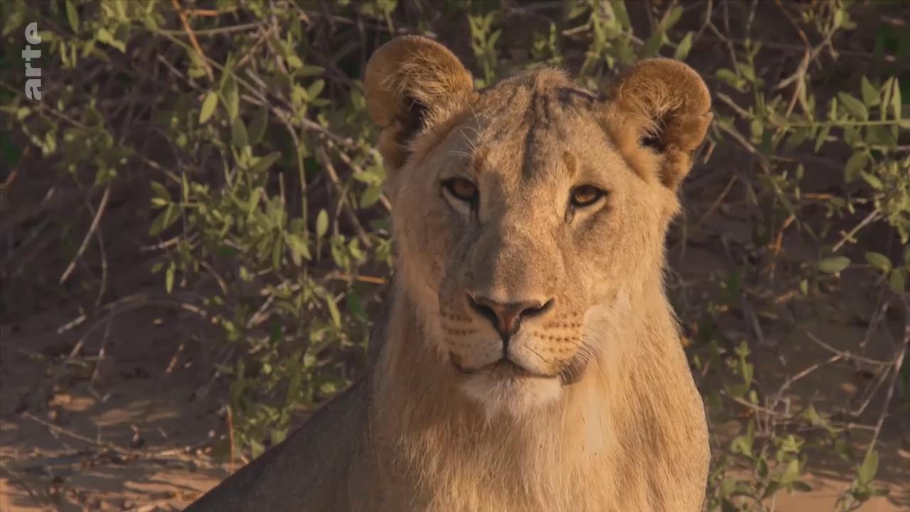 Documentaire Lions de Namibie – Un nouveau départ