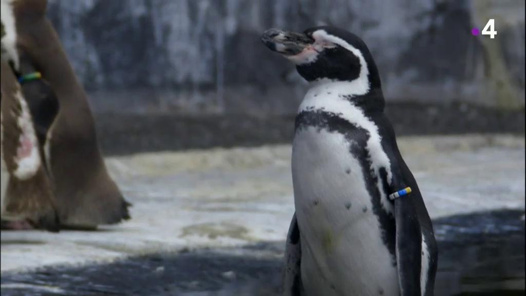 Documentaire Un zoo à Paris – Au milieu des manchots