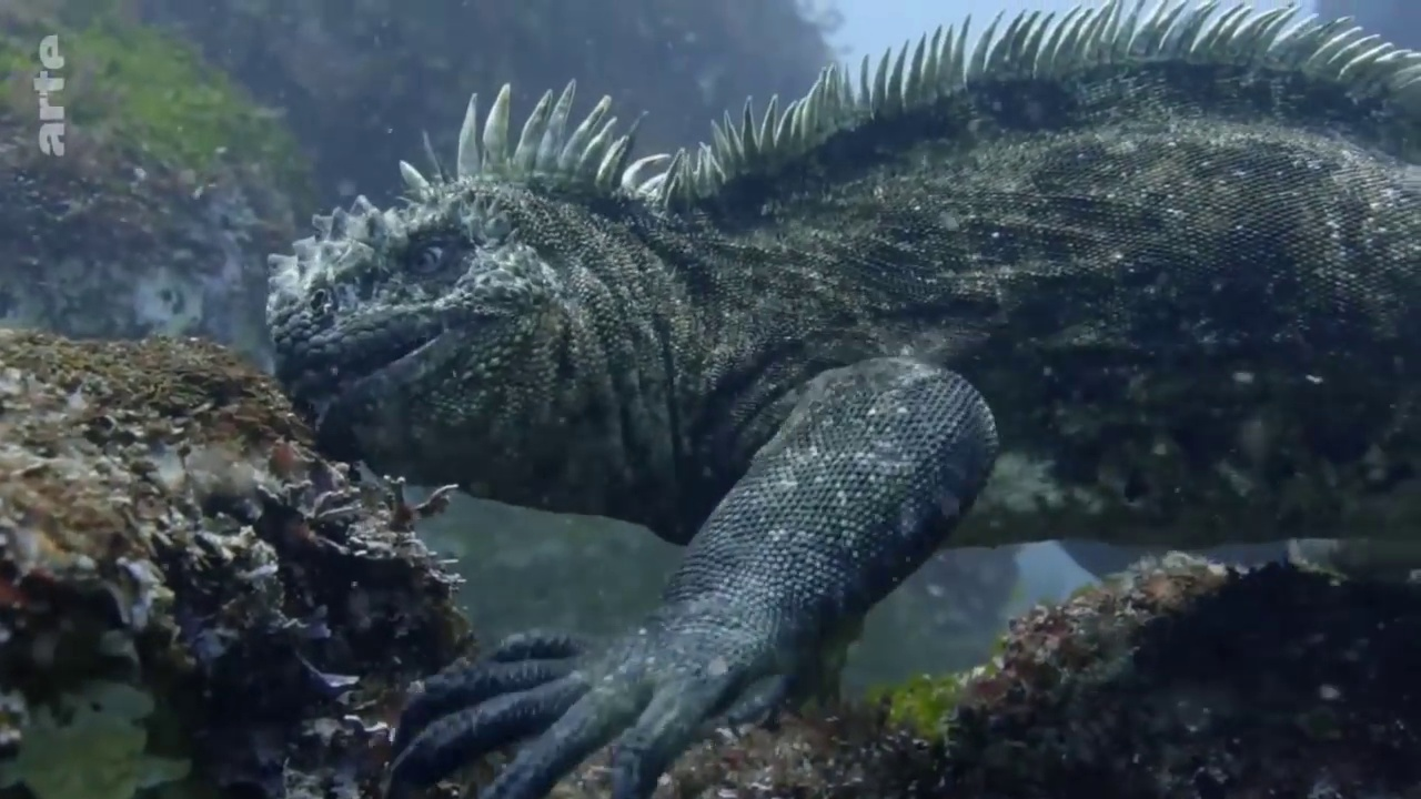 Documentaire L'iguane marin des Galapagos