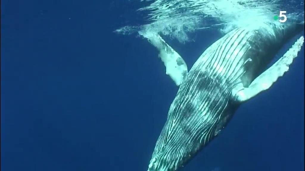 Documentaire Voyage avec les baleines a bosse