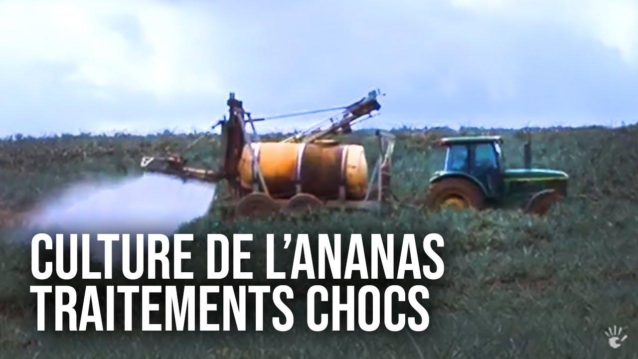 Documentaire L'ananas : une success story inégalée !