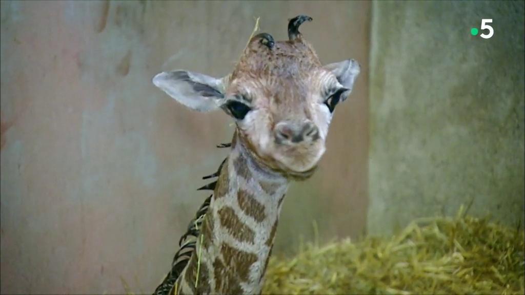 L'école des bébés animaux : les premiers pas du girafon
