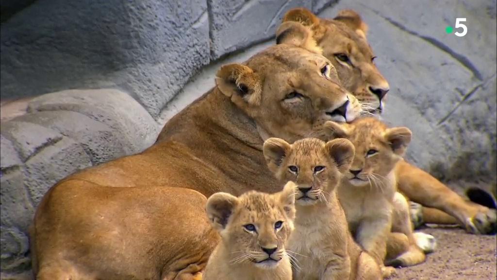 Documentaire L'école des bébés animaux : séance de vaccination chez les lionceaux