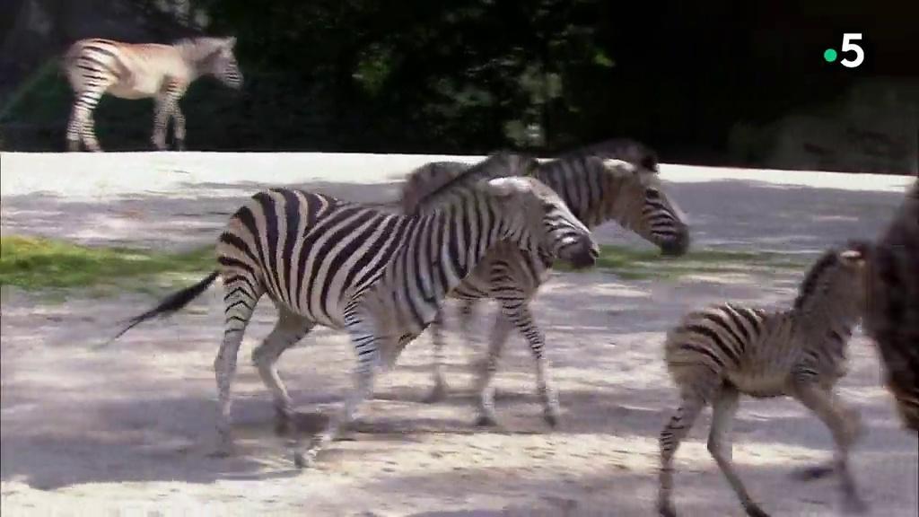 Documentaire L'école des bébés animaux : bagarre chez les zèbres