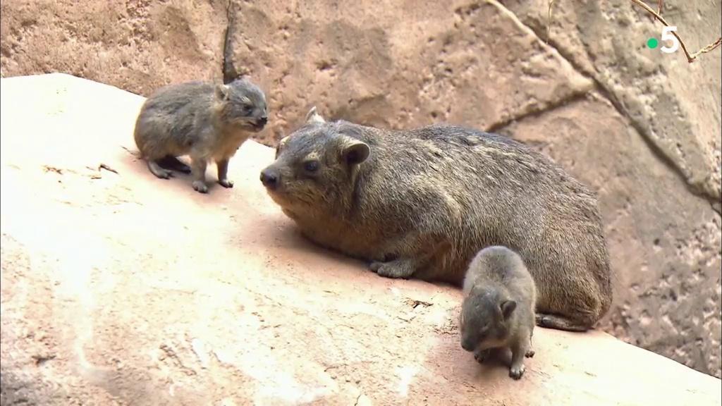 Documentaire L'école des bébés animaux : une naissance chez les capybaras