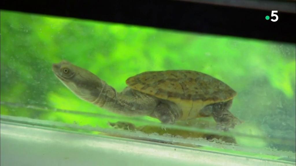 Documentaire L'école des bébés animaux : recensement chez les tortues