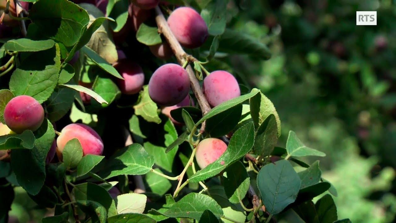 Documentaire La Damassine, fleur d'Ajoie ou la mystérieuse origine d'une délicieuse petite prune