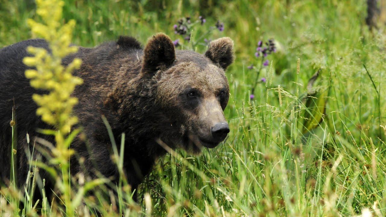 Documentaire Grandeur Nature – L'ours des Pyrenées