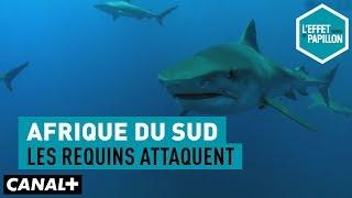 Documentaire Afrique du Sud : les requins attaquent