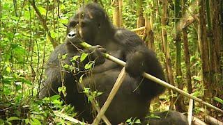 Documentaire Les chemins de l'impossible : les gorilles