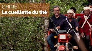 Documentaire Chine, sur la route du thé – La cueillette du thé