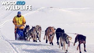 Documentaire Course de chiens de traîneau dans les Alpes : La Grande Odyssée Savoie Mont Blanc
