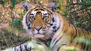 Documentaire Les tigres d'Inde, une espèce menacée