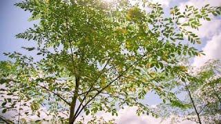 Documentaire Togo : le Moringa, l'arbre aux mille vertus
