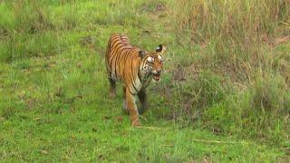 Documentaire Inde, au royaume des tigres sauvages