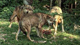 Documentaire Loup sans frontière